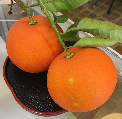 橙は、熱海の特産品