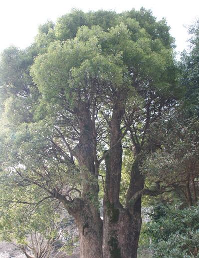 熱海梅園の大楠