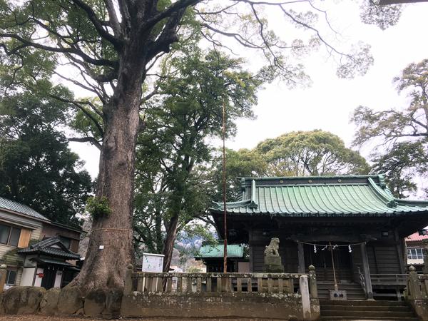 多賀神社のご神木