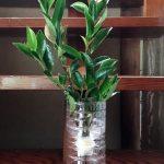 【栽培】お榊をペットボトルで育ててみる。