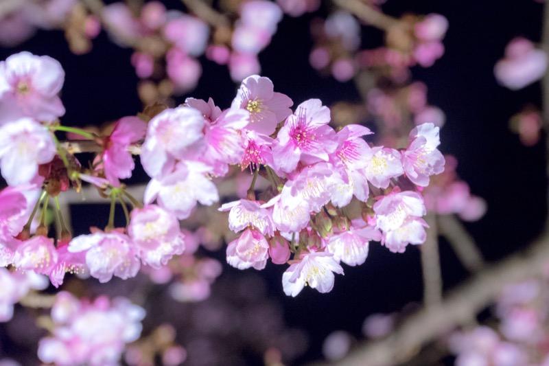 糸川あたみ桜_ライトアップ03