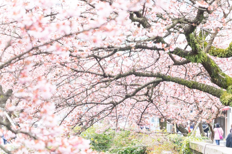 糸川あたみ桜_02