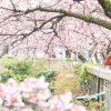 【熱海】日本一の早咲き!あたみ桜が見頃