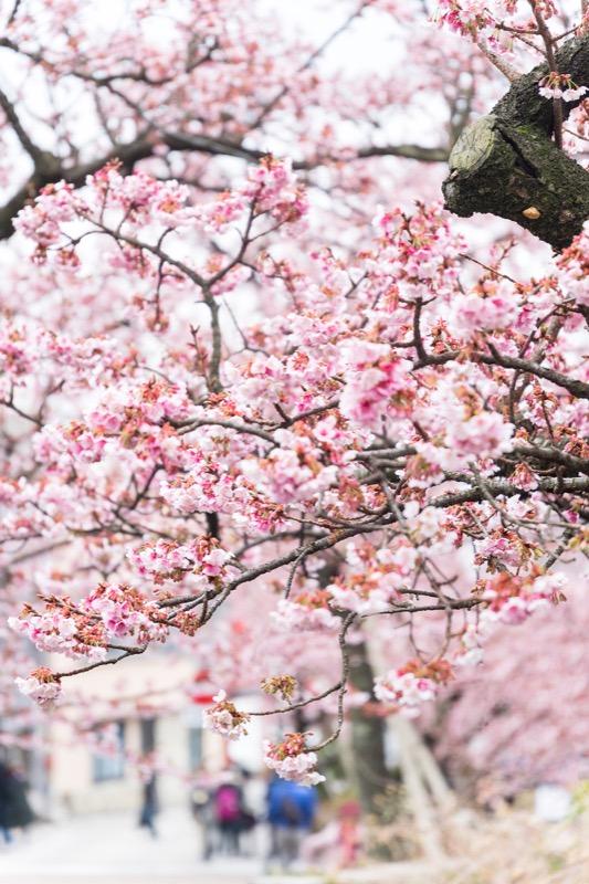 糸川あたみ桜_03
