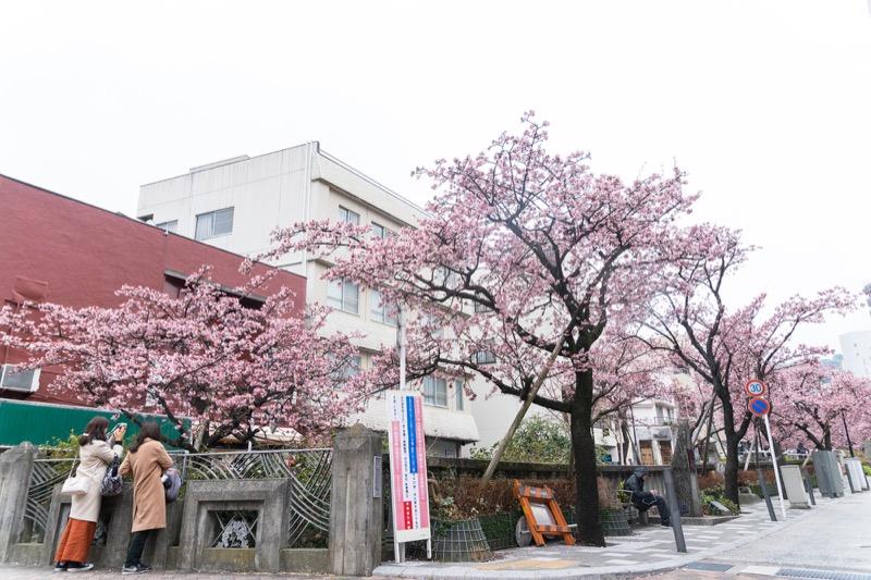 糸川あたみ桜_04