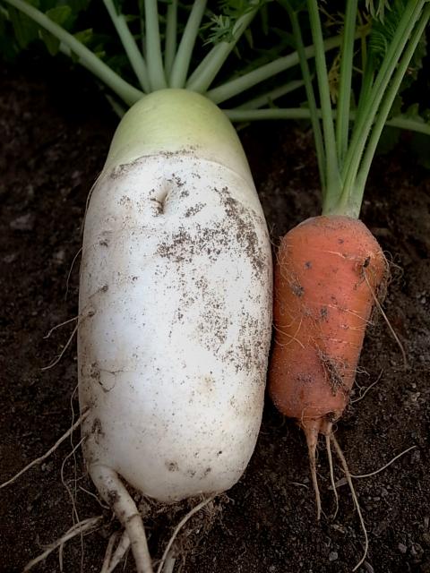 泥付きお野菜
